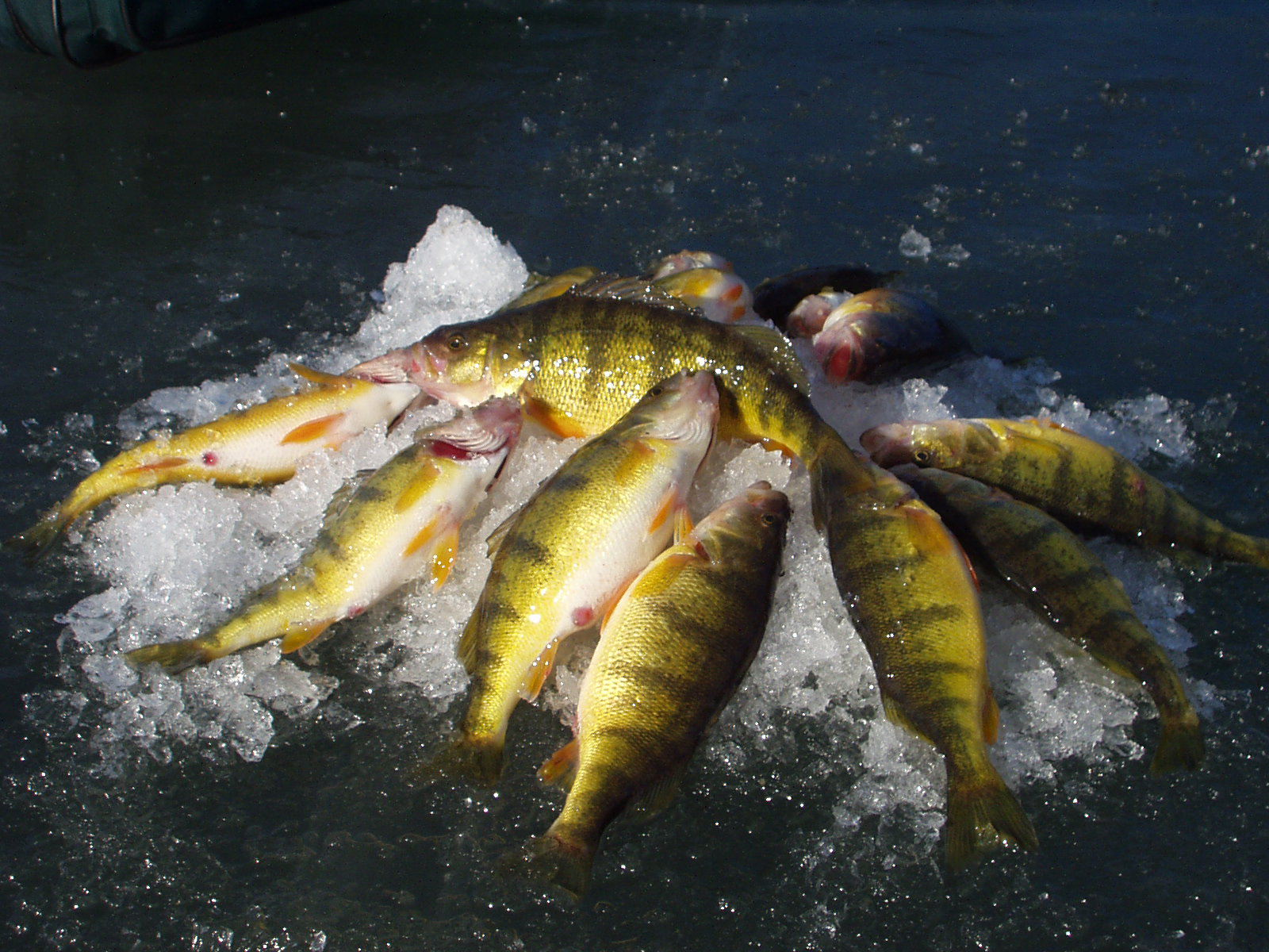 Pile of perch on ice