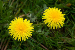 8178-two-yellow-dandelions-pv