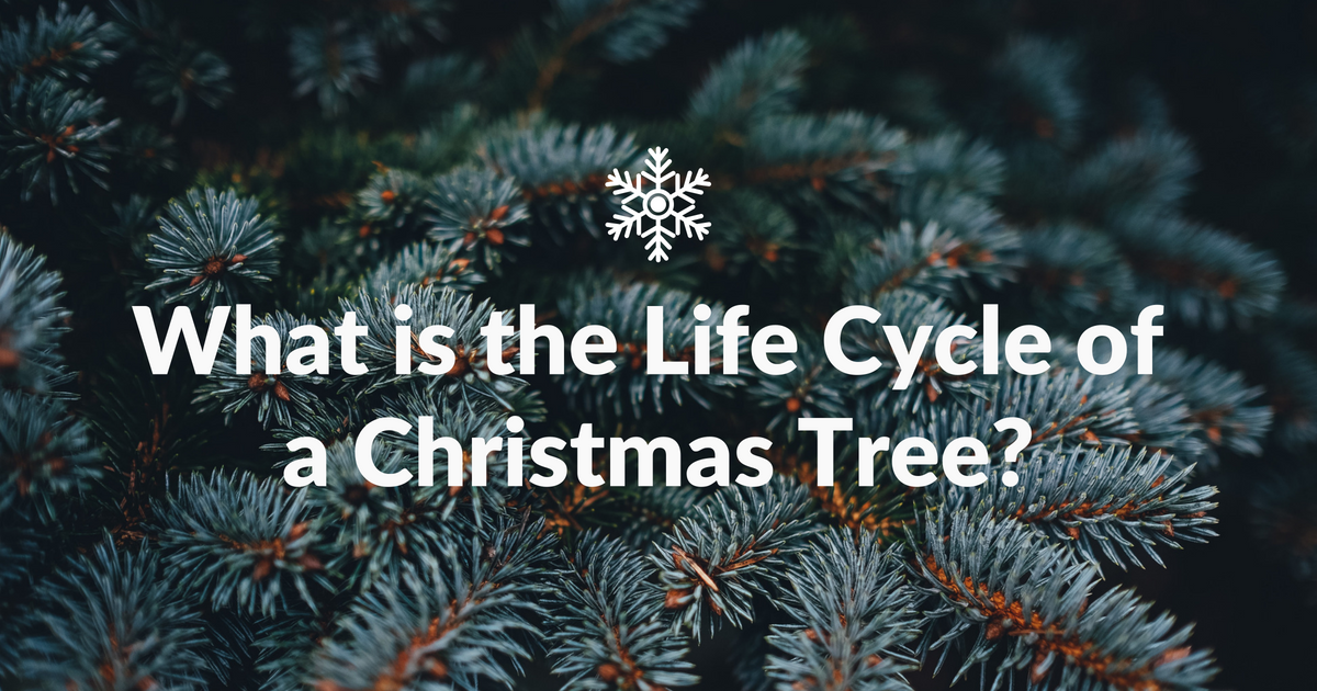 How Long Does It Take A Christmas Tree To Grow.What Is The Life Cycle Of A Christmas Tree