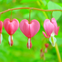 Bleeding Hearts-F2Use_copy